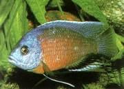 продам в Саратове аквариумных рыбок цихлид Катанга Электрохромис