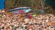 аквариумные рыбки попугайчики пельвикахромисы два  самца  и две  самки